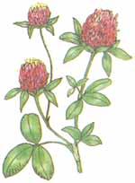 Клевер луговой (красный)
