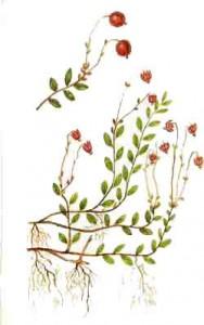 Клюква обыкновенная (болотная)
