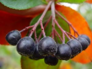 Арония черноплодная (черноплодная рябина): Применение и рецепты