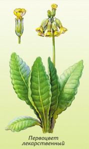 Первоцвет лекарственный