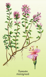 Чабрец, или тимьян ползучий (богородская трава)