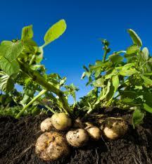 Картофель: Применение и рецепты