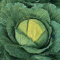 Капуста огородная: Применение и рецепты