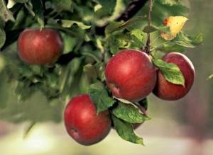 Яблоня домашняя: Применение и рецепты