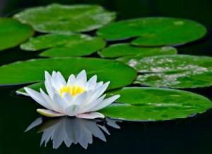 Кувшинка бепая (водяная лилия)